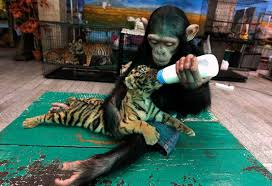 monkey feeding tiger